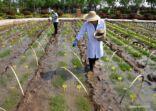 زراعة الأرز في الأرضي المالحة القلوية بشرقي الصين