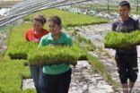 زراعة الأرز البحري تحقق تطورا لافتاً في الأراضي المالحة القلوية في صحراء شمال غربي الصين