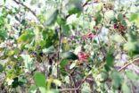 شجر الأراك مصدر السواك واين اماكن نباته